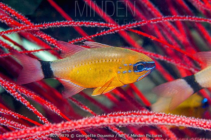Ring-tailed Cardinalfish (Apogon aureus) West Papua, Indonesia.