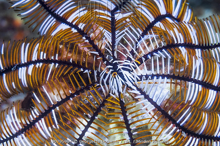 Close up of Crinoid or Featherstar. Philippines.