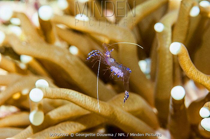 Sarasvati anemone shrimp (Ancylomenes sarasvati) in anemone, Triton Bay, West Papua, Indonesia.