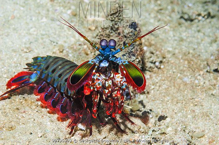 Mantis shrimp (Odontodactylus scyllarus) on walk about on coral reef. Puerto Galera, Philippines.