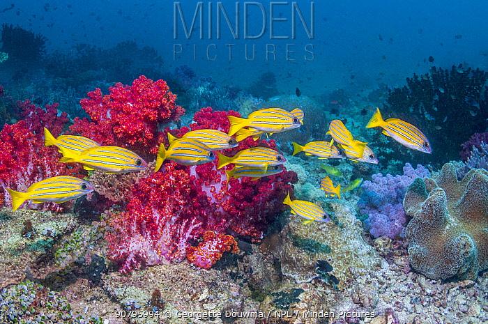Kasmira snappers (Lutjanus kasmira) over coral reef. Triton Bay, West Papua, Indonesia.