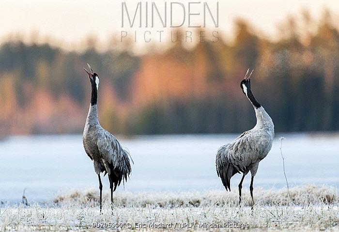Common cranes (Grus grus) Sweden. April.