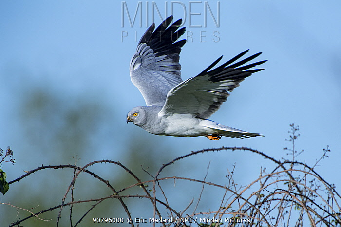 Hen harrier (Circus cyaneus) male in flight, Mayenne, France. May.