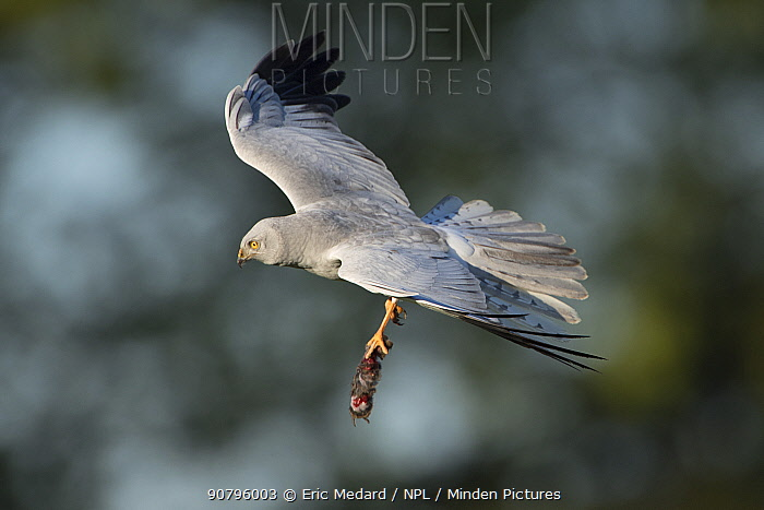 Hen harrier (Circus cyaneus) in flight with prey, Mayenne, France. May.