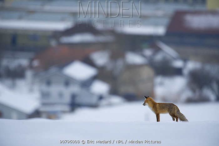 Red fox (Vulpes vulpes) in snow above village, France. February.