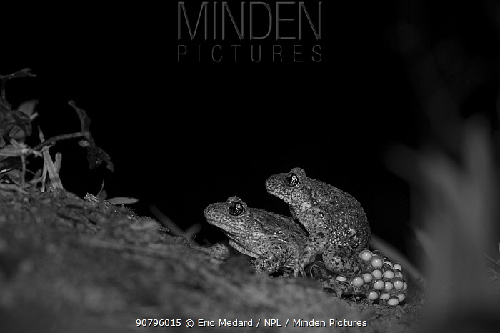 Common midwife toad (Alytes obstetricans) pair mating at night, eggs visible, take with infra red camera, France. April.