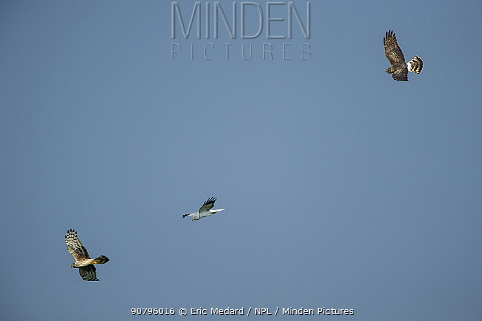Hen harriers(Circus cyaneus) male in flight with two females, Mayenne, France. March.