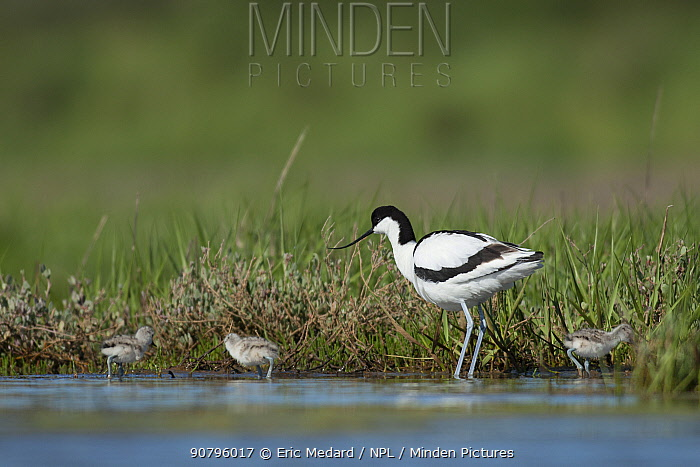 Pied avocet (Recurvirostra avocetta) adult with chicks at water's edge, France. May.
