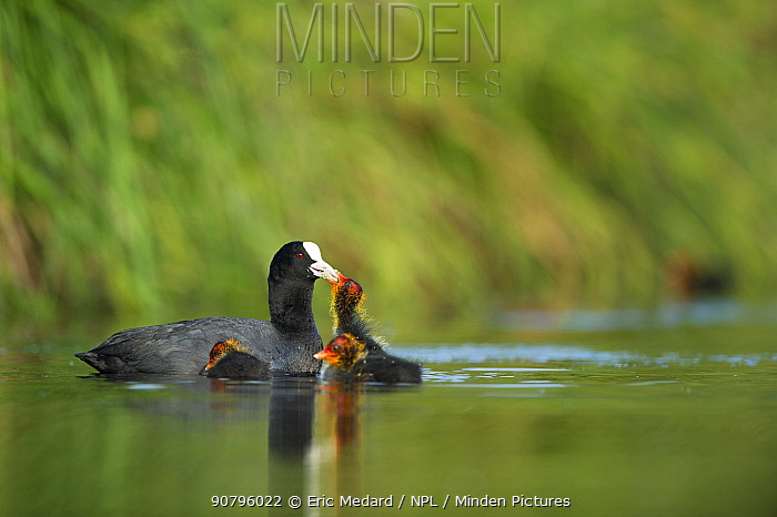 Eurasian coot (Fulica atra) parent and chick, France. May.