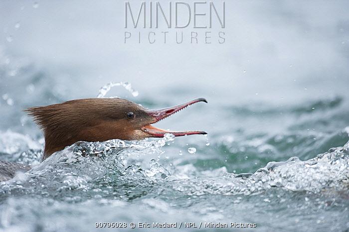 Goosander (Mergus merganser) in aggressive pose in water, Switzerland. February.