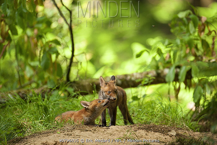 Red fox (Vulpes vulpes) cubs in forest, France. May.