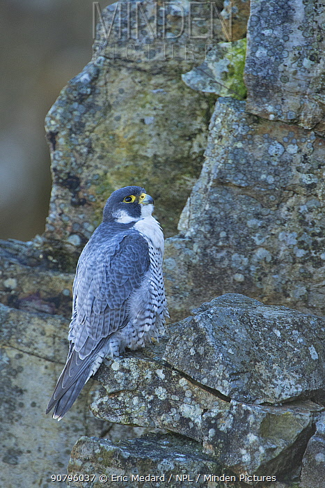 Peregrine falcon (Falco peregrinus) perched on rock, France. March. March.