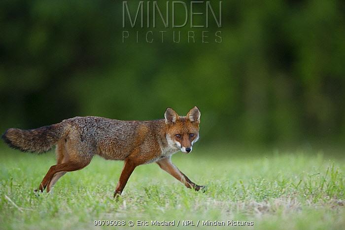 Red fox (Vulpes vulpes) walking across grass, France. June.