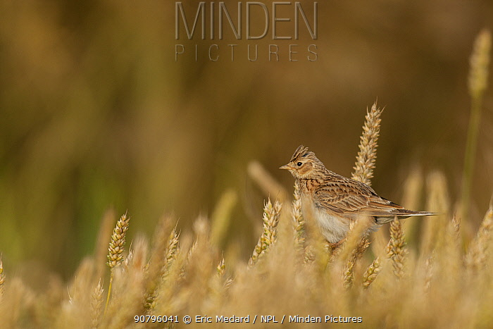 Eurasian skylark (Alauda arvensis) in wheat, France. June.