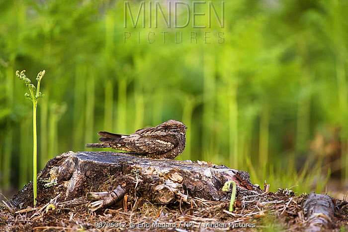 Nightjar (Caprimulgus europaeus) resting during the day, France. June.