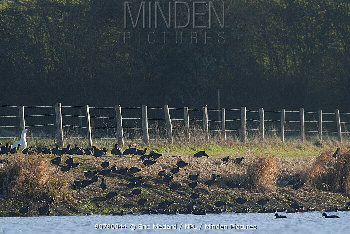 Eurasian coot (Fulica atra) group on river bank with Domestic goose (Anser anser domesticus) France December.