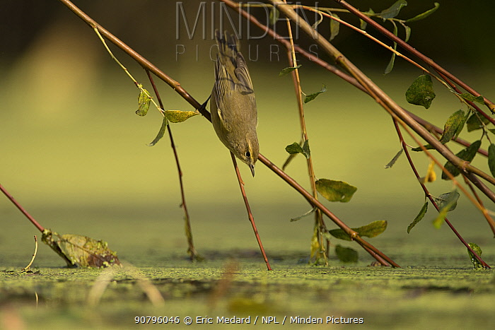 Common chiffchaff (Phylloscopus collybita) reaching down to water from willow branch, France. September.