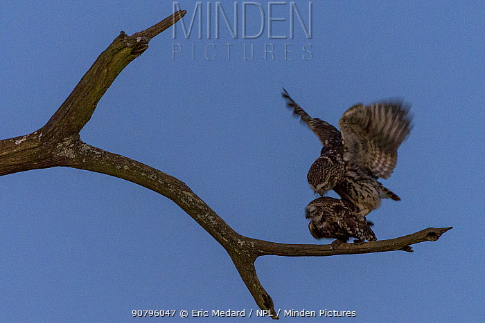 Little owl (Athene noctua) pair mating, France. March. March.