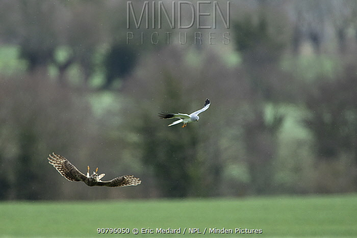 Hen harrier (Circus cyaneus) male passing food to female during courtship. Mayenne, France. (Note poor quality file, small repro only)