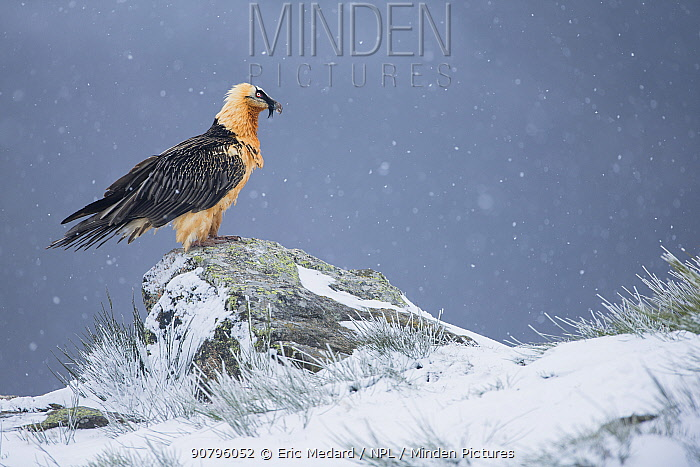 Bearded vulture (Gypaetus barbatus) Pyrenees, France, March.