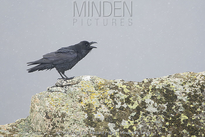 Common raven (Corvus corax) calling, Pyrenees, France. March.