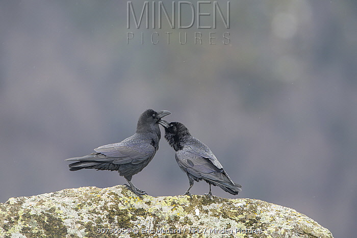 Common ravens (Corvus corax) preening each other, Pyrenees, France. March.