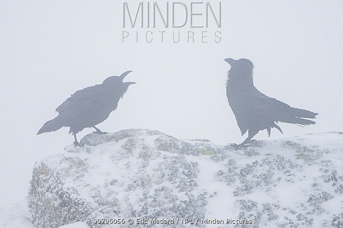 Common raven (Corvus corax) two calling in mist, Pyrenees, France, March.