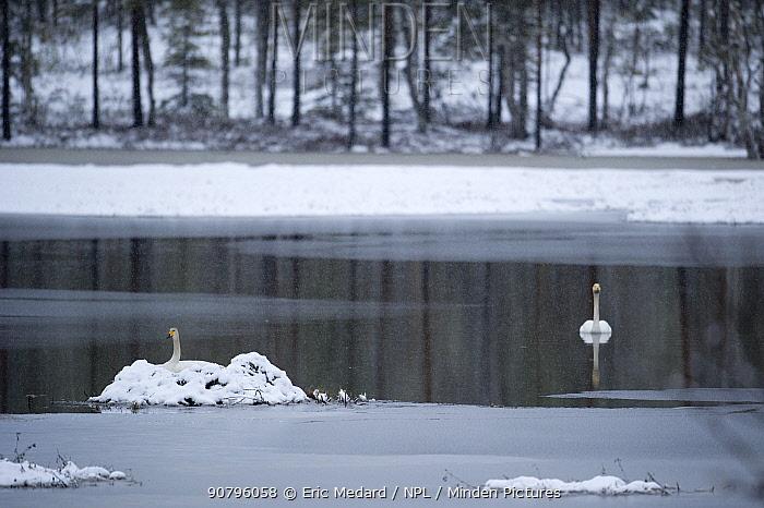 Whooper swan (Cygnus cygnus) on nest on small island in lake, snowing, Sweden. May.