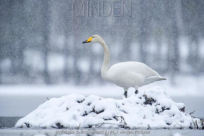 Whooper swan (Cygnus cygnus) resting on nest in snowl, Sweden. May.