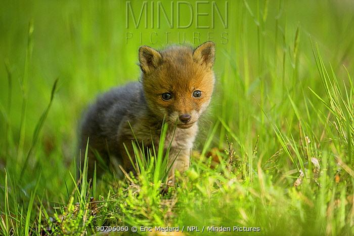 Red fox (Vulpes vulpes) kit, France. May.