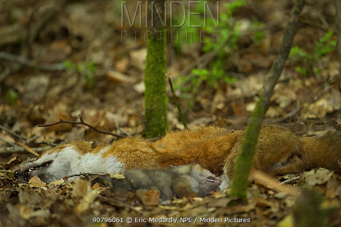 Red fox (Vulpes vulpes) mother and cub dead in the forest, France. May.