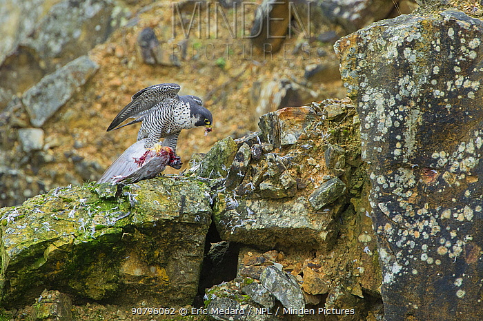 Peregrine falcon (Falco peregrinus) with pigeon prey, France. January.