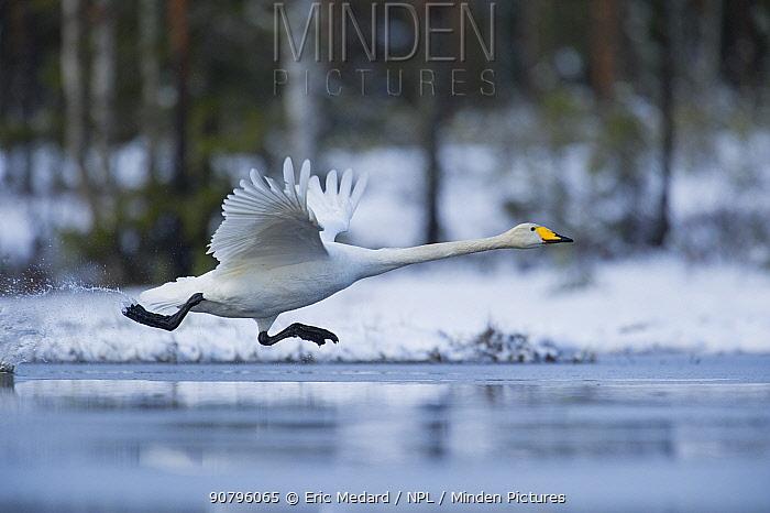 Whooper swan (Cygnus cygnus) taking off, Sweden. May.