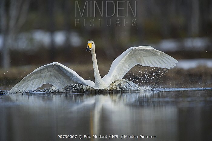 Whooper swan (Cygnus cygnus) landing on water, Sweden. May.