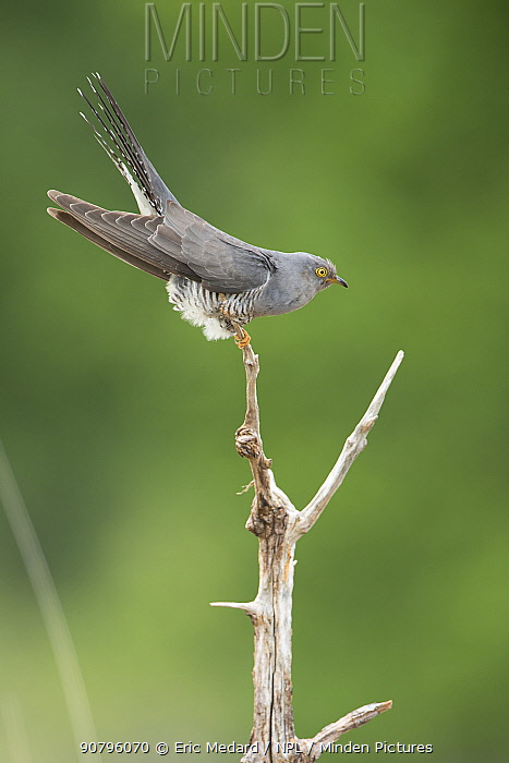 Cuckoo (Cuculus canorus) perched, France. May.