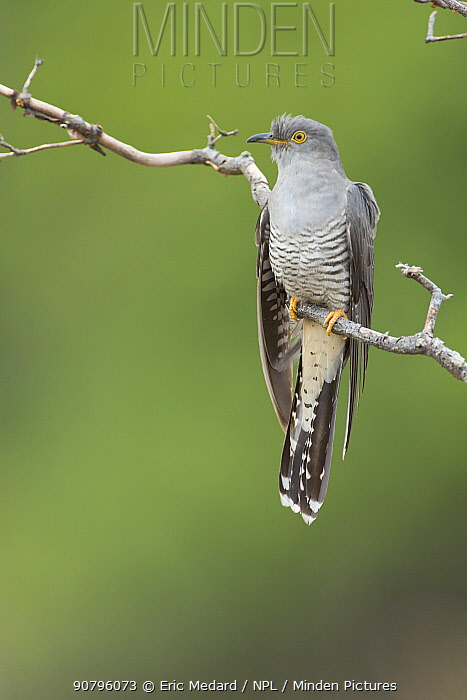 Cuckoo (Cuculus canorus) perched, France May.