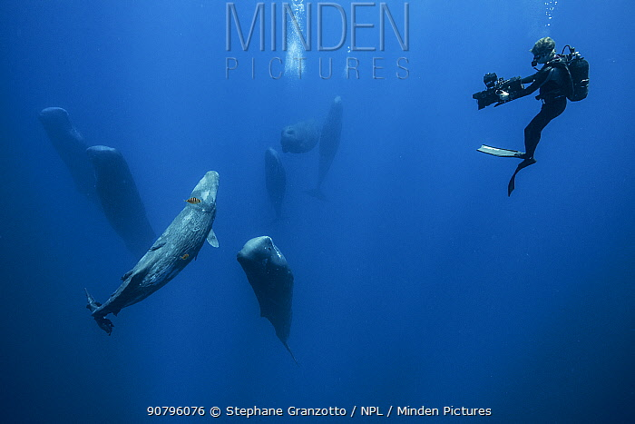 Sperm whale (Physeter macrocephalus) pod watched by scuba diver. Indian Ocean.