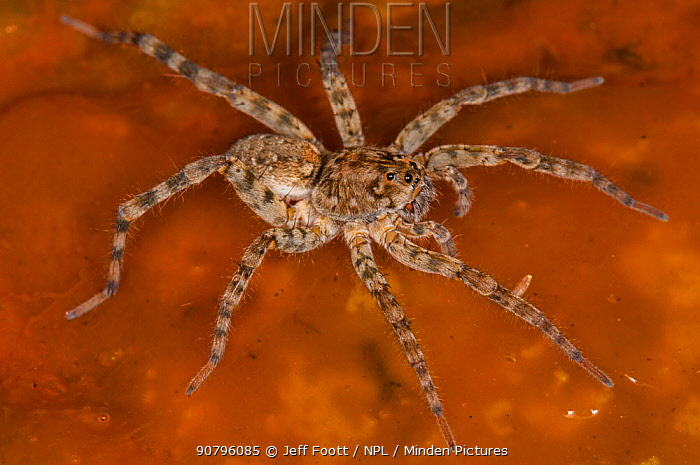 Wolf spider, (Lycosidae) in hot spring, on Bacterial mat, Yellowstone National Park, Wyoming, USA, September.