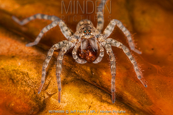 Wolf spider (Lycosidae) with captured fly on algae mat in hot springs run off, Yellowstone National Park, Wyoming, USA. September.