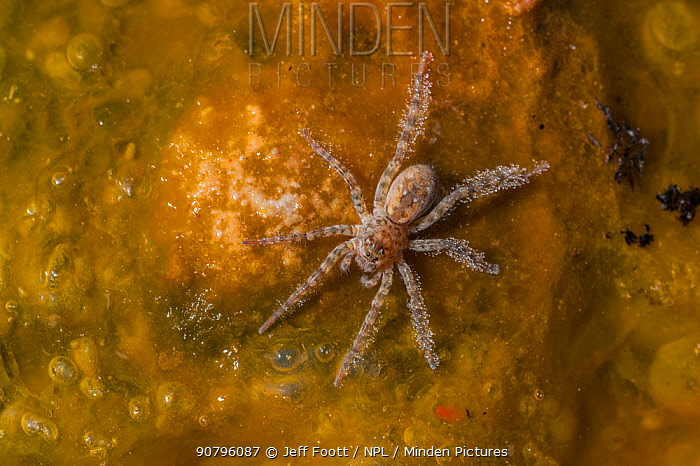 Wolf Spider, (Lycosidae) in hot spring, on Bacterial mat, Yellowstone National Park, Wyoming, USA, June.