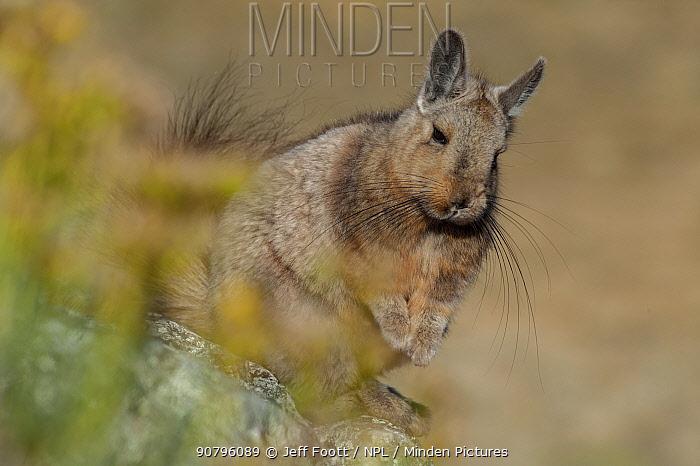Wolffsohn's viscacha (Lagidium wolffsohni) Future Patagonia National Park, Chile.