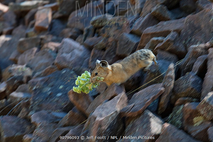 Pika (Ochotona princeps) in Bridger National Forest, Wyoming Mountain Range, Wyoming, USA, July.