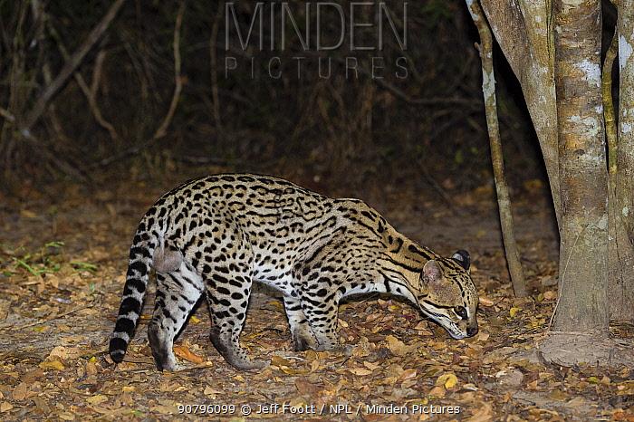 Ocelot (Leopardus pardalis) on forest floor at night, Pantanal, Brazil