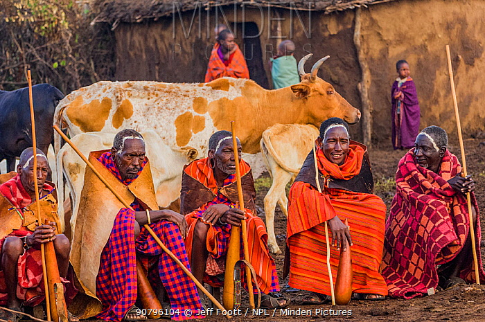 Maasai village elders with drinking gords with cow and children in front of hut, Maasai village, Kenya. September 2006.