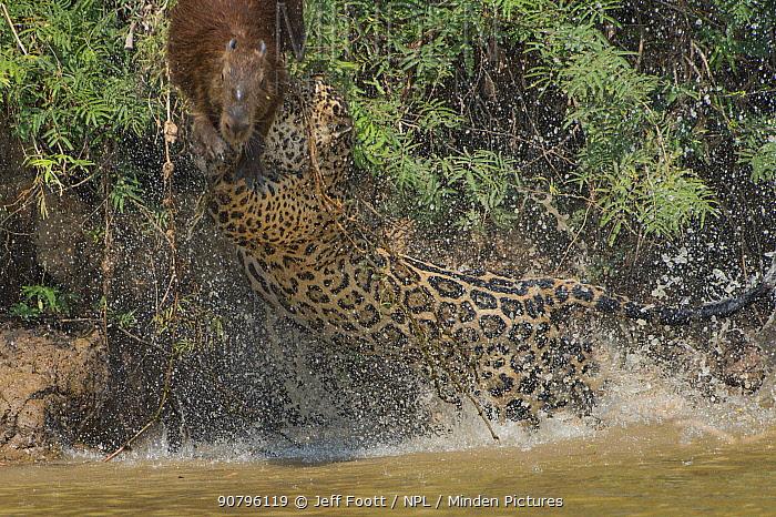 Jaguar (Panthera onca) male, hunting Capybara (Hydrochoerus hydrochaeris) leaping away, Pantanal Matogrossense National Park, Pantanal, Brazil. Sequence 1 of 3