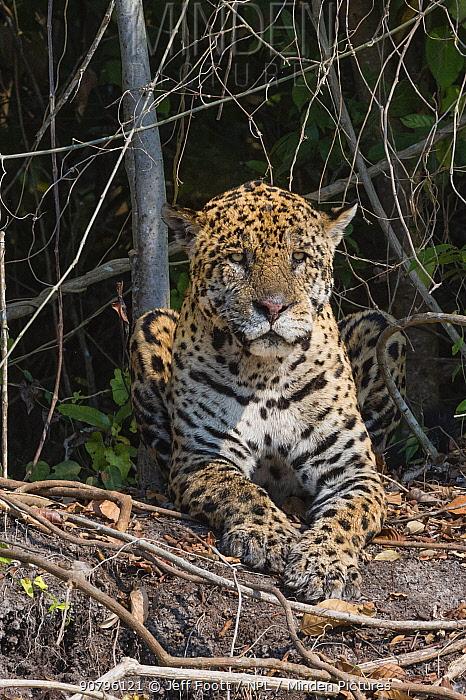 Jaguar (Panthera onca) resting, Cuiaba River, Pantanal Matogrossense National Park, Pantanal, Brazil.