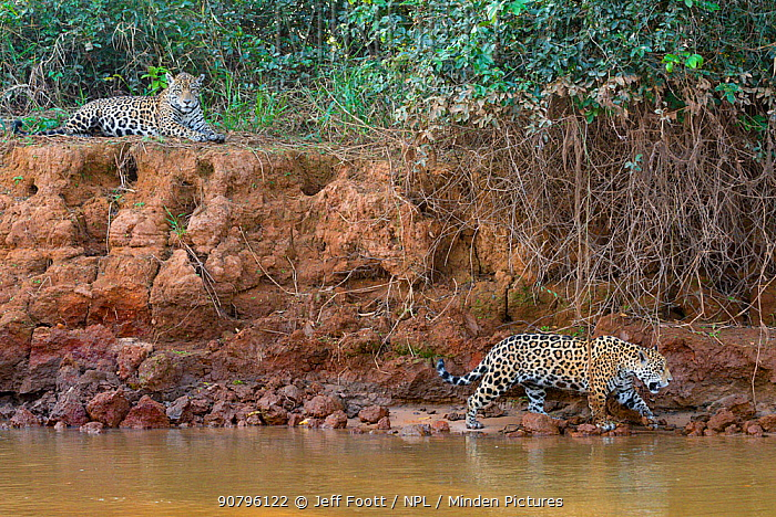 Jaguar (Panthera onca) female and one year old cub on riverbank, Cuiaba River, Pantanal Matogrossense National Park, Pantanal, Brazil.