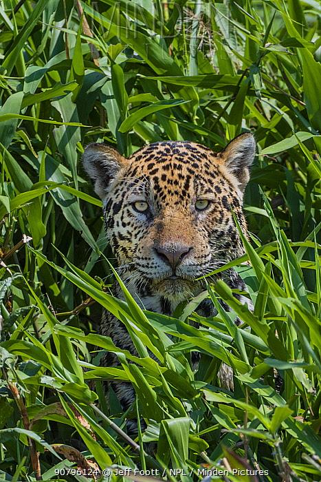 Jaguar (Panthera onca) male hunting, peering through grass, Cuiaba River, Pantanal Matogrossense National Park, Pantanal, Brazil.