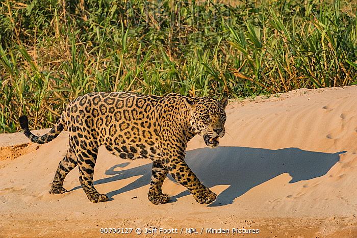 Jaguar (Panthera onca) male on riverbank, Cuiaba River, Pantanal Matogrossense National Park, Pantanal, Brazil.