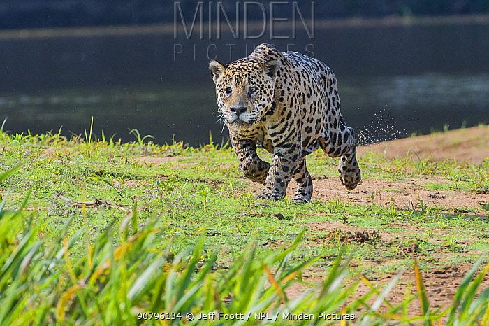 Jaguar (Panthera onca) running along river bank, Cuiaba River, Pantanal Matogrossense National Park, Pantanal, Brazil.
